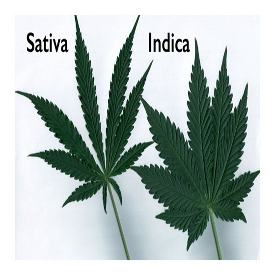 Sativa Vs Indika 2