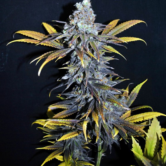 Liečebné Kanabinoidy 1: CBD a THC