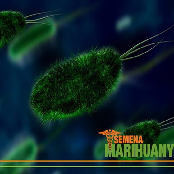Střevní Mikroflóra a Endokanabinoidní Systém
