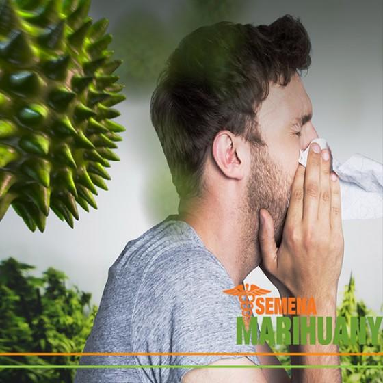 Alergie na liečebne konope