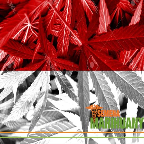 Polsko Legalizuje Léčebné Konopí!