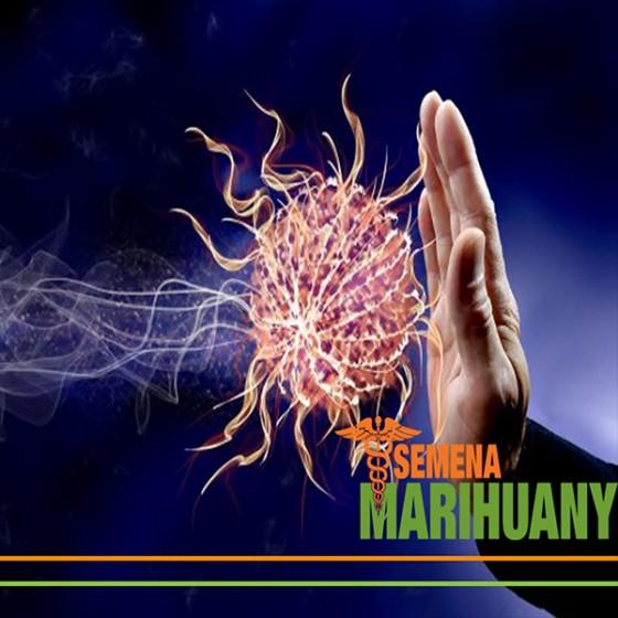 Liečebné Konope a Imunitný Systém