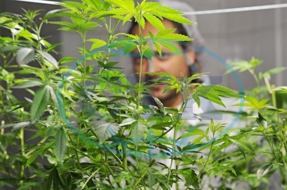 Průzkumná studie Rhode Islandu – lékařská marihuana